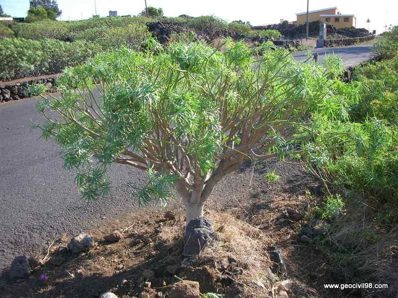 Tabaiba, Euphorbia lamarckii, estudios ambientales