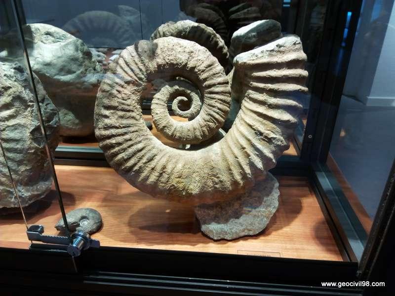 Ammonites del Museo de Geología