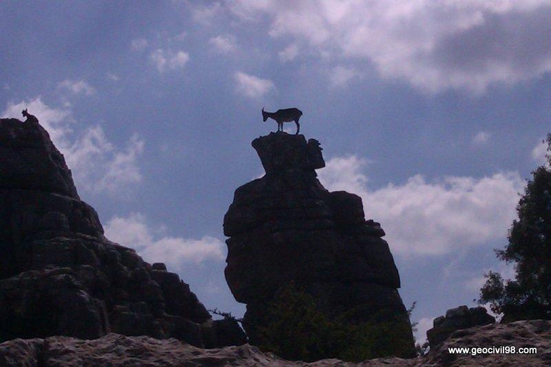 Cabra montés, Torcal de Antequera, departamento de geología de Geocivil 98