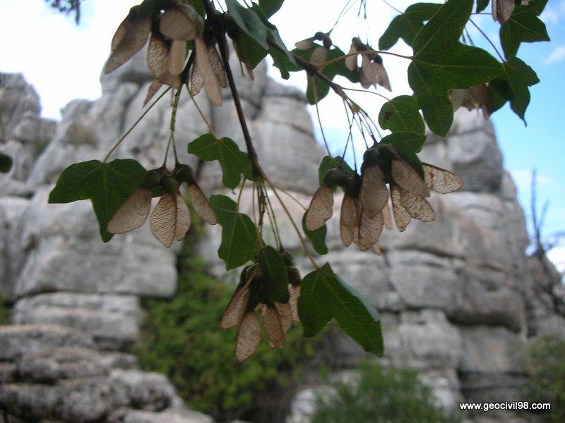 Hojas y disámaras del arce de Montpellier, Torcal de Antequera, departamento de medio ambiente de Geocivil 98