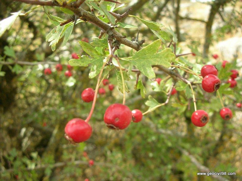 Frutos del majoleto, Torcal de Antequera, departamento de medio ambiente de Geocivil 98